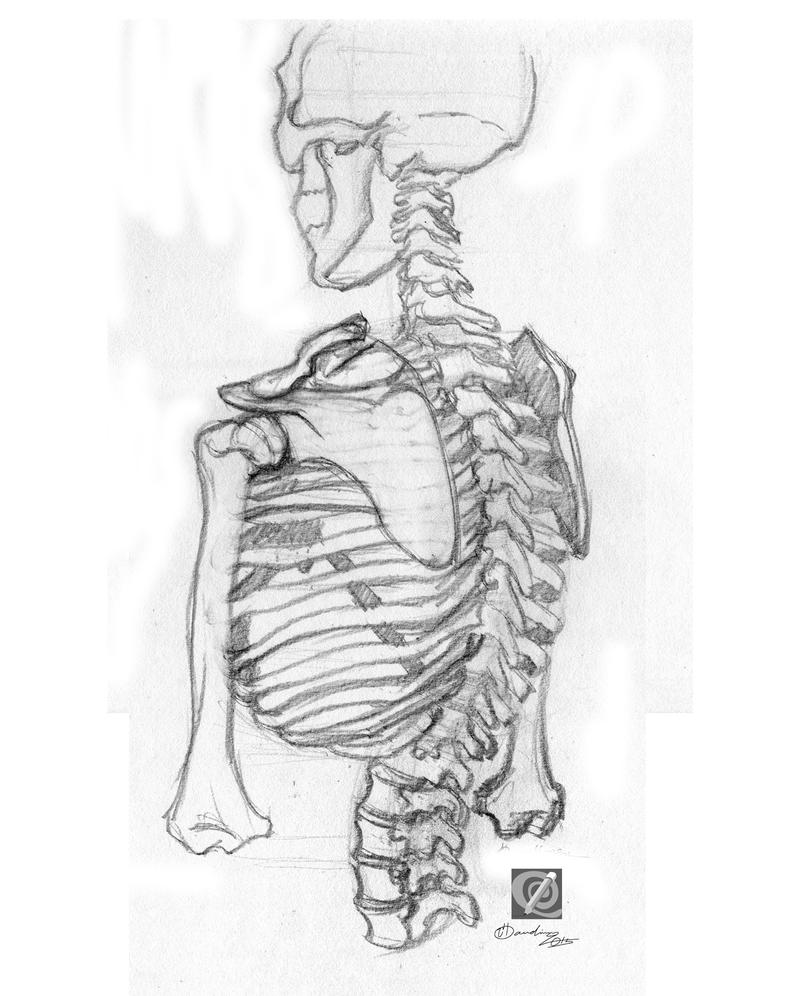 skeleton study 003 by chclaudino
