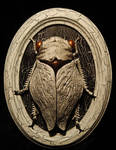 Winter Cicada