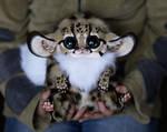 Inari Foxes: Oncilla