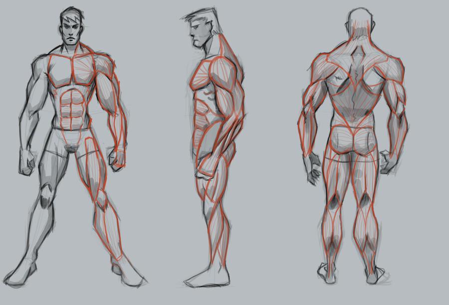 Male Muscle Study Basic By Wackoshirow On Deviantart