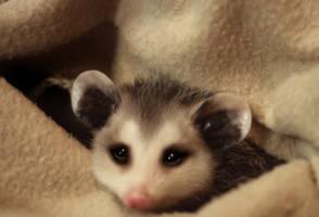 Pocket Possum by bypolar-bear
