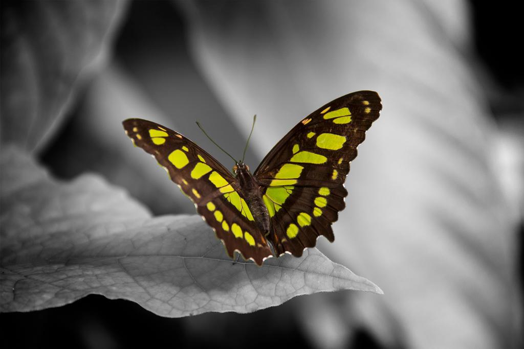Butterfly I by z1fn4b
