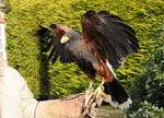 Harris Hawk Stock 5