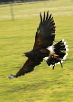 Harris Hawk Stock 18 by LRG-Photography