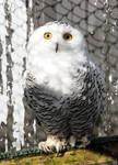 Snowy Owl Stock 3
