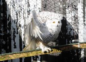 Snowy Owl Stock 4 by LRG-Photography