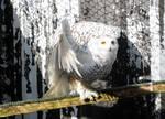 Snowy Owl Stock 4