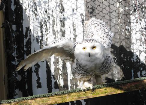 Snowy Owl Stock 5