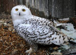 Snowy Owl Stock 7