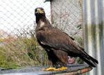Steppe Eagle Stock 3