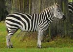 Grant's Zebra Stock 1