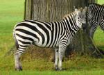 Grant's Zebra Stock 2