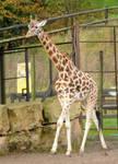 Rothschild Giraffe Stock 2