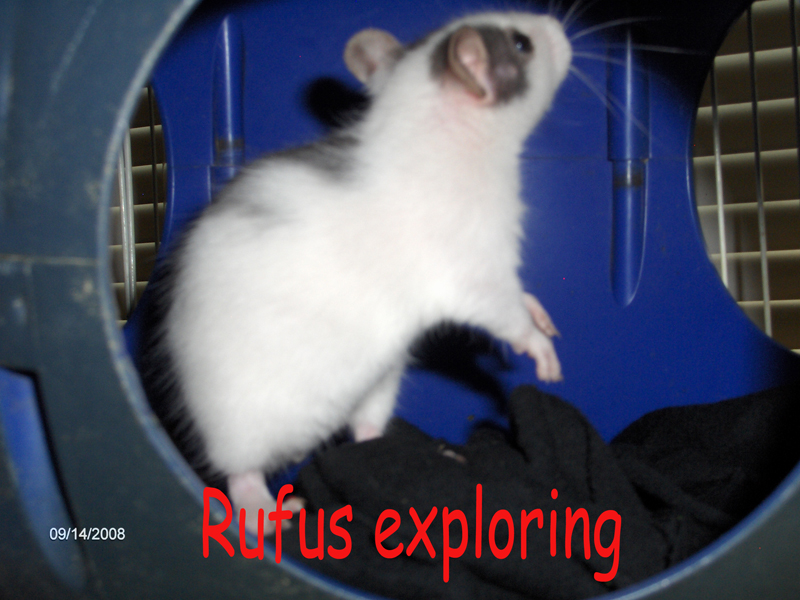 My other new rat Rufus by sparkyrat