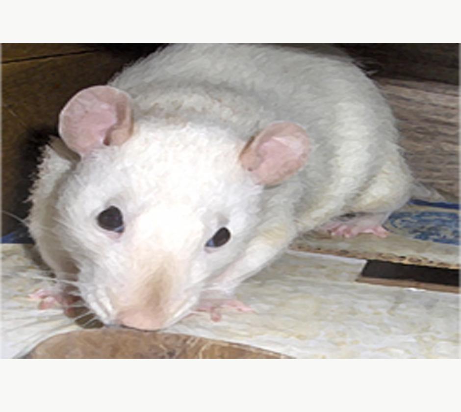 Cute Rat by sparkyrat