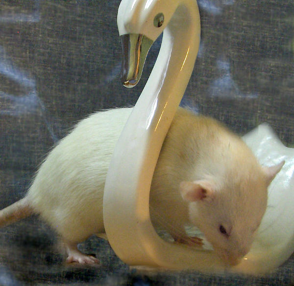 Rat by sparkyrat