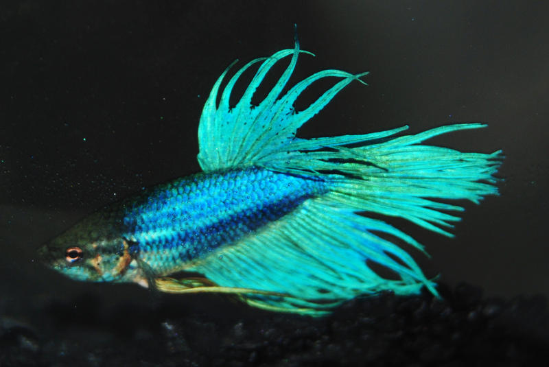 Blue green crowntail betta