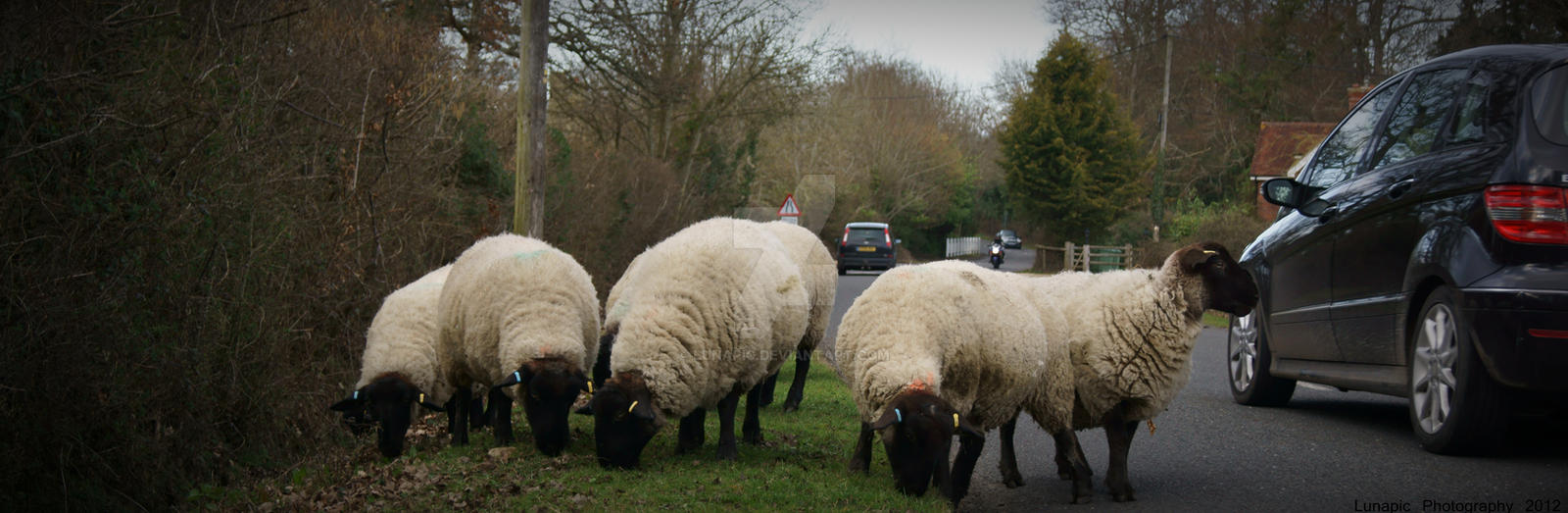 Why did the sheep cross the road? by Lunapic