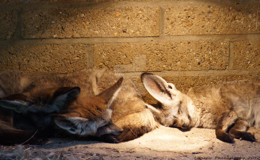 Bat-Eared Foxes by Lunapic