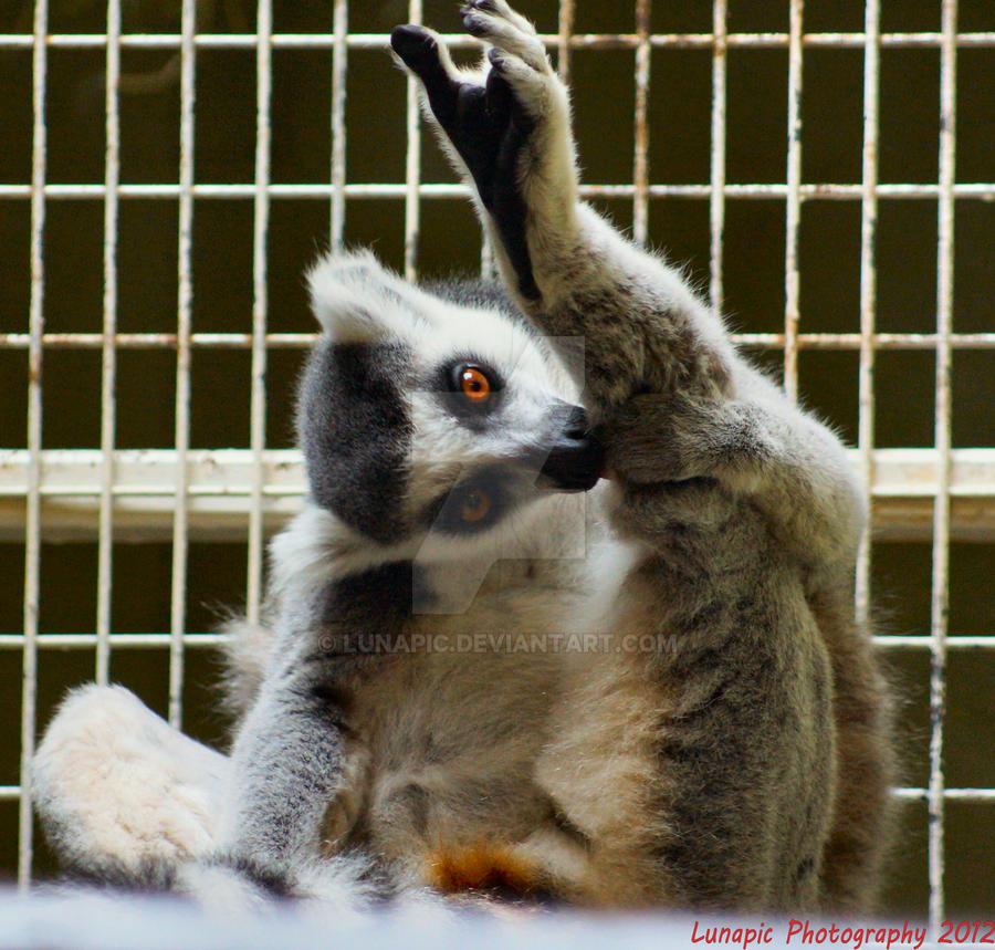 RING TAILED LEMUR (Lemur catta) by Lunapic