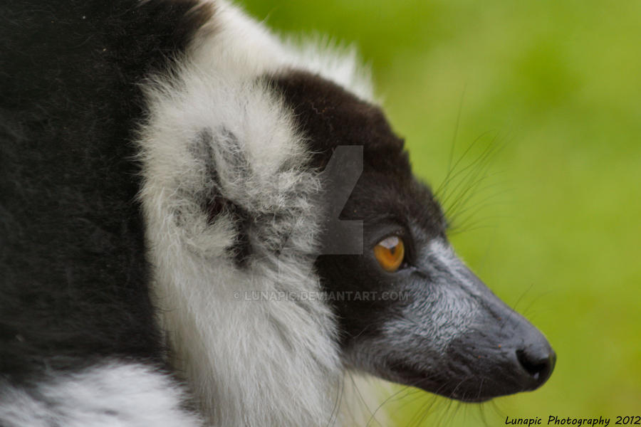 Black and White Ruffed Lemur by Lunapic