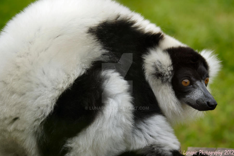 Another Lemur Pic by Lunapic