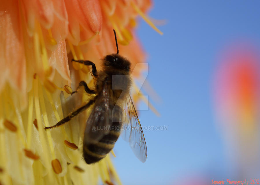 Honey Bee 2 by Lunapic