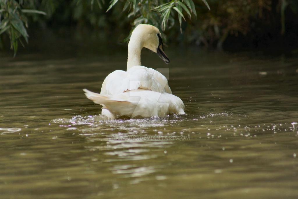 Swan Bathing by Lunapic