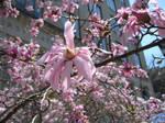 Pink Magnolias 1