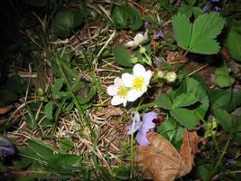 Plants_Strawberry flowers by Talec