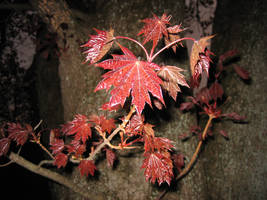 Maple Leaves by Talec