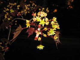 Maple Flowers by Talec