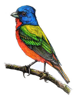 Painted Bunting - Color