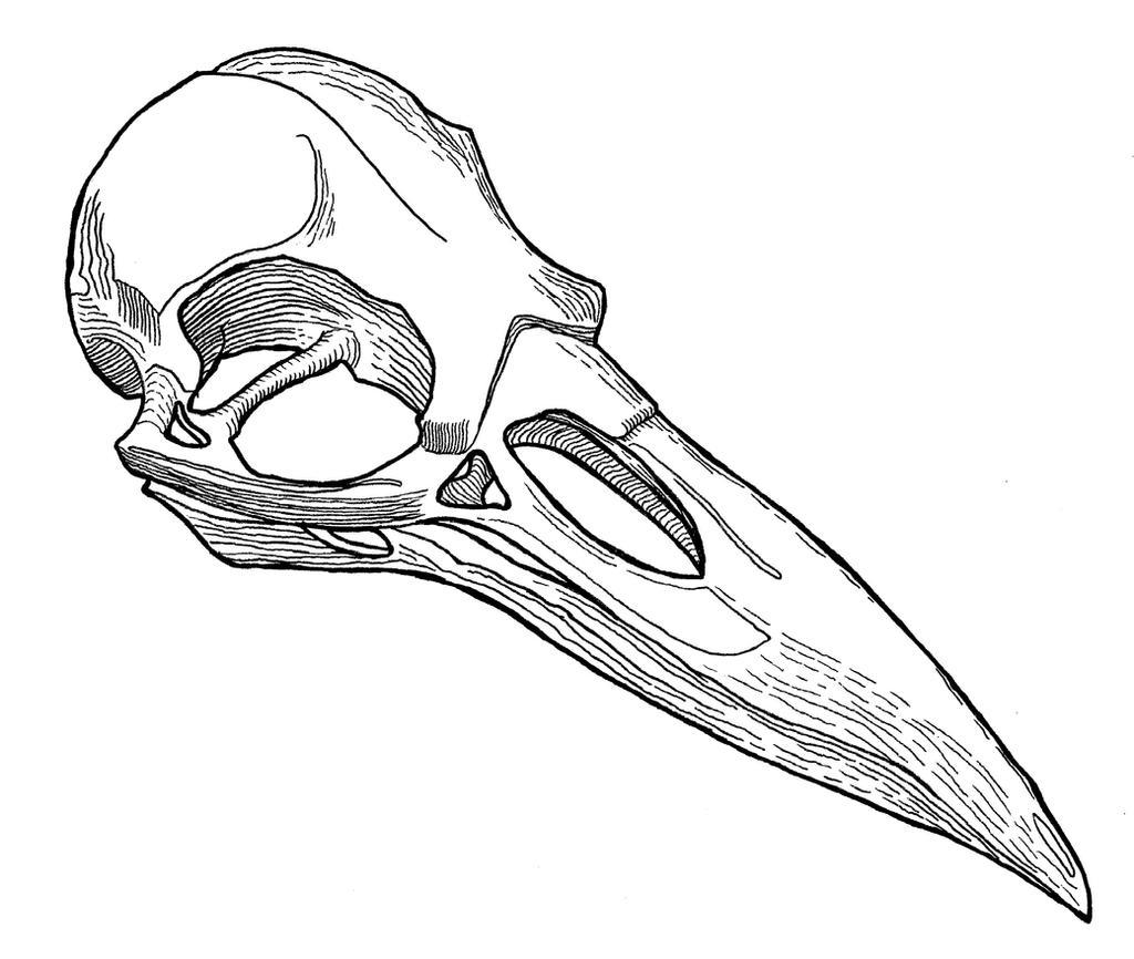 Line Drawing Raven : Raven skull by georgezanooda on deviantart