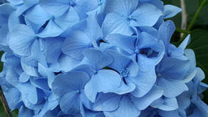 Hydragea Blues