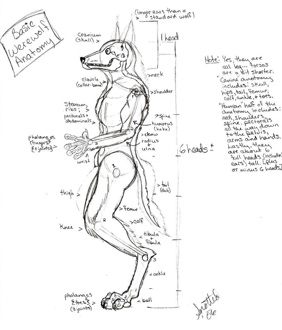 Basic Werewolf Anatomy by Snotted on DeviantArt