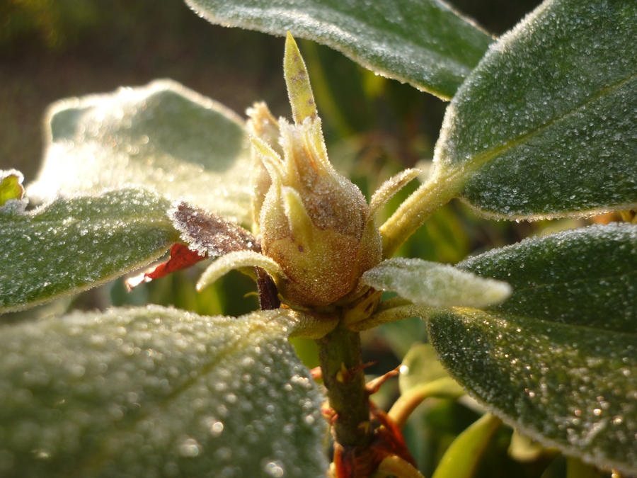 frozen buds on a - photo #19