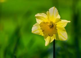 Daffodil by AdrianSadlier