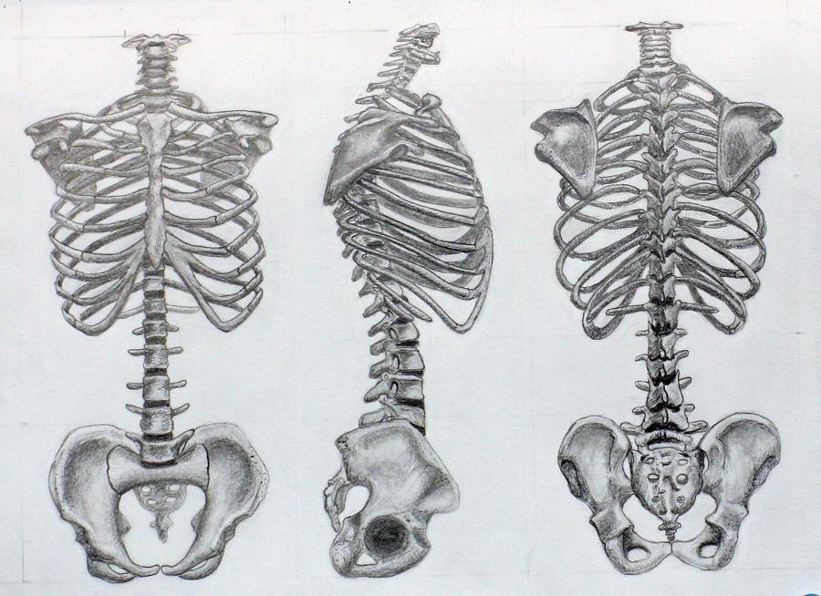 Bones Of The Torso By Eekxpo On Deviantart