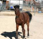 STOCK: Bay Horse15