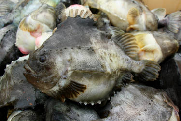 Lumpfish 1 by ragnaice
