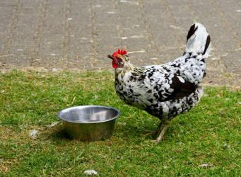 Icelandic Hen 2 by ragnaice