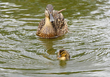 Mama and baby duck by ragnaice