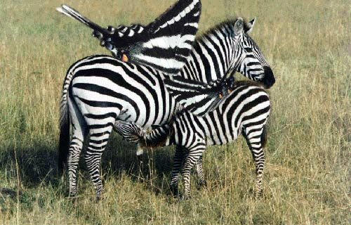 Zebras by arcadia
