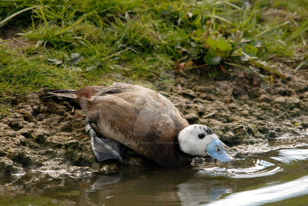 Ruddy Duck by Sarah-Hann-photo