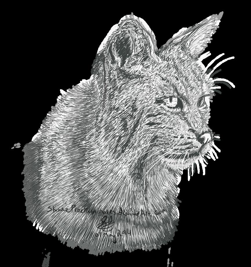 Day 30 - Bobcat Lynx Study by ShaneProcrastinates