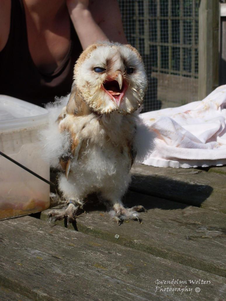 Baby barn owl by gwendolynwolters on deviantart for Food bar owl