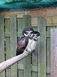 2 spectacled Owls