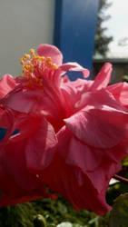 Gumamela Flower by Azulors