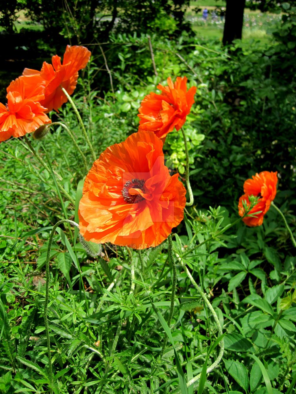 Popping Poppy by Cendra16
